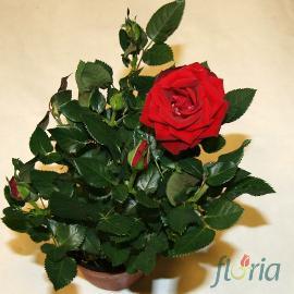 Trandafir pitic rosu