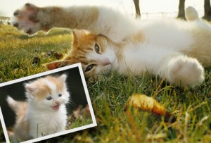 photolibrary_rm_photo_of_cat_and_inset_of_kitten