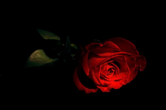 wet-black-rose-3-L